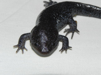 Mole Salamanders for sale