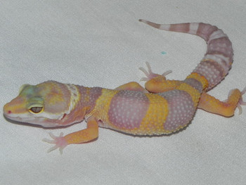 Hybino Leopard Geckos for sale