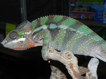 Panther Chameleons for sale (Pardalis furcifer) - AMBILOBE ADULT LOCALE