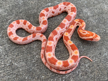 Albino Corn Snakes for sale | Snakes at Sunset