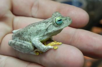 Emerald Eye Tree Frogs