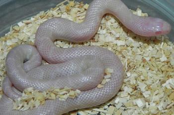 Snow Desert King Snake for sale