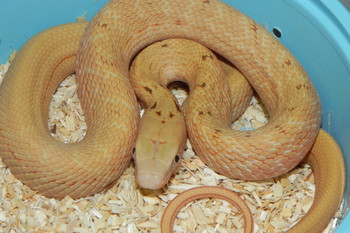 Hypo King Rat Snake for sale