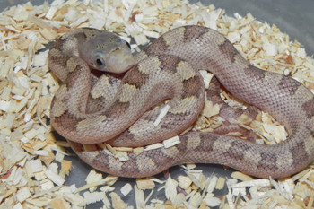 Hypo Yellow Rat Snake for sale (Elaphe obsoleta quadrivittata)