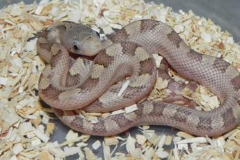 Hypo Yellow Rat Snake for sale (Elaphe obsoleta quadrivittata)