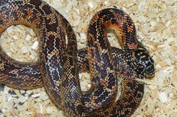 Jungle Abberant Goins King Snake for sale