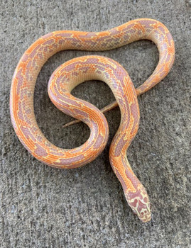 Albino Mosaic Florida King Snake for sale