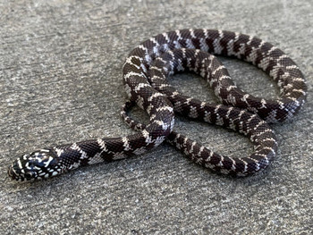 Anery Florida King Snake for sale