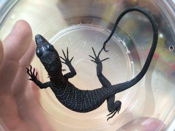Baby Black Tree Monitors for sale