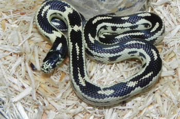 California King Snake for sale (Lampropeltis getula californiae) - Coastal Abberant