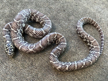 Ghost Florida King Snake for sale