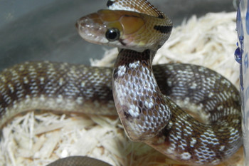 Trinket Rat Snake for sale (Coelognathus helenus)