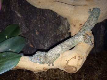Mossy Leaf Tail Gecko for sale