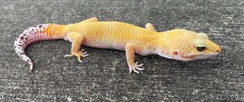 Adult Fancy Leopard Geckos for sale ( Eublepharis macularius)