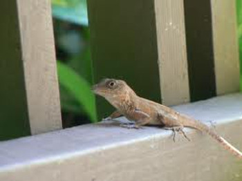 Big Head Anoles for sale (Anolis cybotes)
