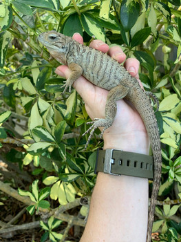 Rhino Iguanas for sale | Snakes at Sunset