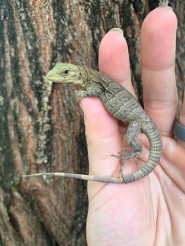 Melanosterna Spiney Tail Iguana for sale (Ctenosaura melanosterna)
