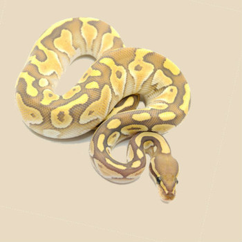 Butter Ghost Ball Python for sale