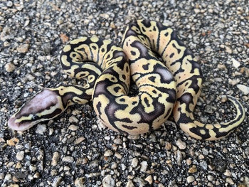 Super Pastel Ghost Ball Pythons for sale