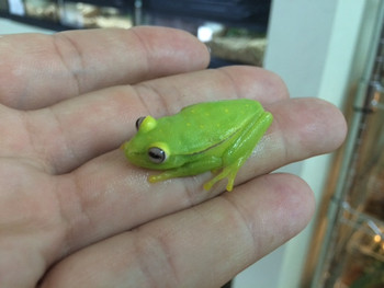 Glass Frogs for sale