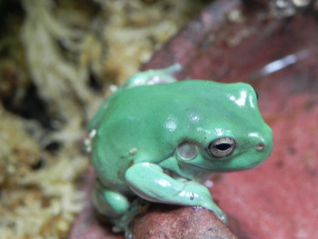 Baby Blue Dumpy Tree Frogs for sale