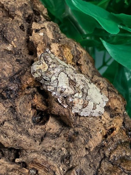 Bird Poop Tree Frogs for sale