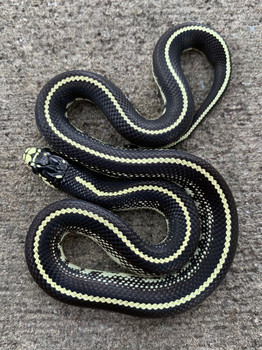 Coastal Striped California King Snake for sale | Snakes at Sunset