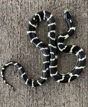 Coastal Banded California King Snakes for sale | Snakes at Sunset
