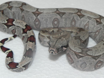 Baby Bolivian Boas (Boa constrictor amarili)