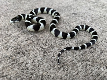 California King Snake for sale (Lampropeltis getula) - Desert Banded