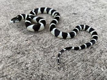 California King Snake for sale (Lampropeltis getula) - Desert Banded