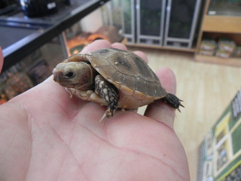 Baby Elongated Tortoises for Sale (Indotestudo elongata)