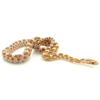 Gold Dust Corn Snake for sale | Snakes at Sunset