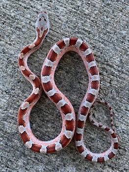 Pied Sided Blood Red Corn Snake