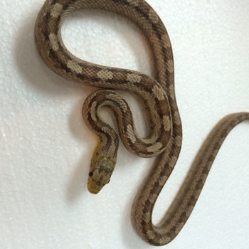 Gulf Hammock Rat Snakes for sale