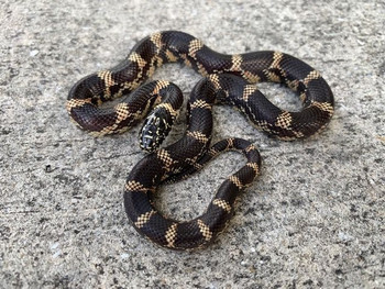 Eastern Chain King Snake for sale