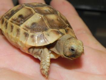 Baby Golden Greek Tortoises for sale (Testudo graeca)