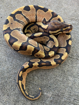 Fire Ball Python for sale | Snakes at Sunset