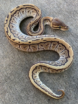 Jig Saw Ball Python for sale | Snakes at Sunset