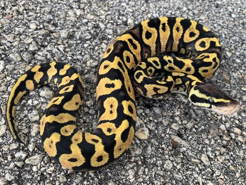Pastel Yellow Belly Ball Python for sale | Snakes at Sunset