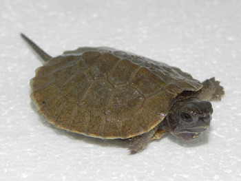 North American Wood Turtle (Glaptemys insculpta)