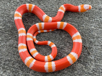 Tangerine Albino Honduran Milk Snakes for sale (Lampropeltis triangulum hondurensis) MALES