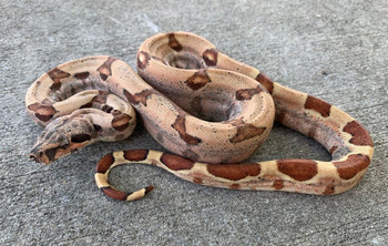Hypo  Boa Constrictor for sale (Boa Constrictor)  YEARLING MALES ONLY