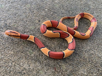 Chinese Bamboo Rat Snakes for sale (Oreocryptophis p. vallianti) MALES ONLY