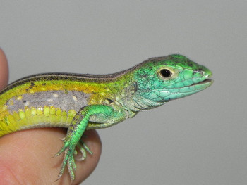 Rainbow Lizard for Sale