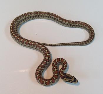 Leopard Rat Snakes for sale