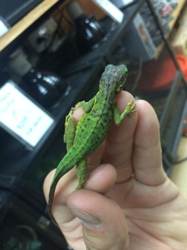 Panther Anole for sale (Anolis bimaculatus)