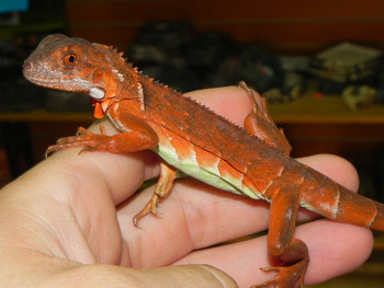 Red Iguana for sale (Iguana iguana) WE NO LONGER SELL GREEN IGUANAS