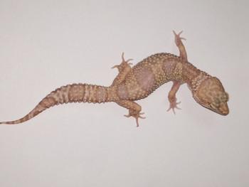 Albino Leopard Geckos for sale - females | Snakes at Sunset