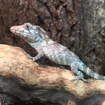 Baby False Chameleon for sale (Anolis barbatus) only males